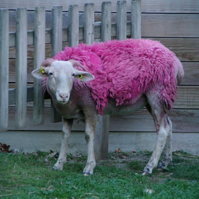 mouton framboise