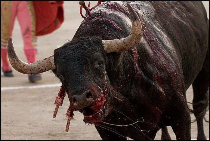 taureau à l'agonie