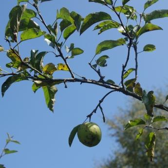 solitude de la pomme