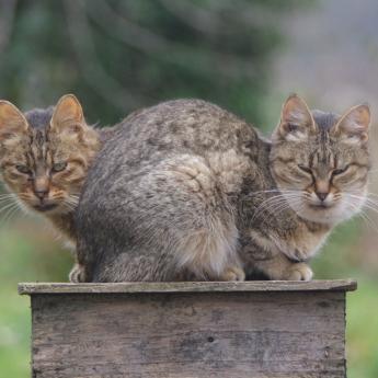 chat bicéphale